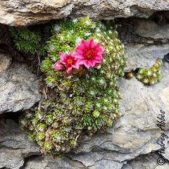 Fleur de montagne (Audrey Abbès Photography ॐ) Tags: flore audreyabbès fleur fleurs fleursdemontagne plante plantes montagne alpes alps alpesdehauteprovence france nature verdure vie vert rose blanc pierre roher macro