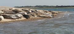 2018_Norfolk_BlakeneyPoint_Seals (atkiteach) Tags: norfolk uk england blakeney blakeneypoint seal seals water sea seaside northsea