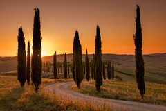 Cypress Gold (Tracey Whitefoot) Tags: tracey whitefoot 2018 tuscany toscana italy agriturismo baccoleno cypress trees tree golden gold summer august europe italian sunset dusk landscape asciano drive lane siena