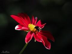 Bumblebee on flower (Lothar Malm) Tags: bee flower bumblebeeonflower