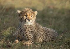 Cheetah Cub - Acinonyx jubatus (rosebudl1959) Tags: 2018 cheetah kenya masaimara zebraplains imaniscub