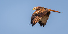 Red Kite,  juvenile (dangerousdavecarper) Tags: red kite flying bird milvus raptor inflight sky