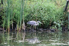 Great Blue Heron (rwkphotos) Tags: greatblueheron ardeaherodias halifax novascotia canada