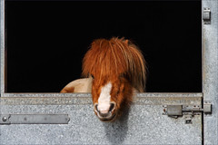 Hamish II (meniscuslens) Tags: hamish shetland pony skewbald horse trust charity rescue stable door mane