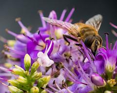 Macro 40mm nikon. (Kalbonsai) Tags: insect biene macro 40mm micronikon d500 flower naturshot outdoorphotography
