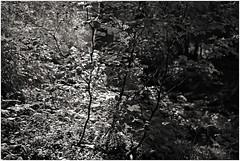 hoegne 3 (beauty of all things) Tags: belgien belgium hohesvenn hoëgne sart leaves light blätter licht bw sw intothelight