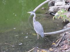 Great Blue Heron (trilliumgirl) Tags: great blue heron salmon arm bc british columbia canada waiting