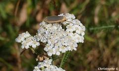 Un manteau pâle butine les fleurs de l'Achillée millefeuille (Mont Ventoux - Vaucluse - 27 juillet 2018) (Carnets d'un observateur de la nature du Sud de la) Tags: manteaupâle insecte papillon nature biodiversité macro proxy microcosmos montventoux vaucluse provence achilléemillefeuille fleur
