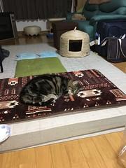 Three Cats in the Semi-Dark (sjrankin) Tags: 9september2018 edited animal cat tigger norio bonkers livingroom floor mat kitahiroshima hokkaido japan