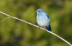 Going out on a limb (Snixy_85) Tags: bluebird