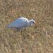 Ardea (Bulbucus) ibis (Cattle Egret)