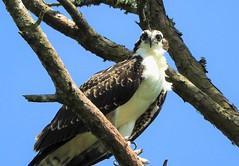 Best wishes to the people and ospreys of Kiawah Island! (Ruby 2417) Tags: osprey kiawah carolina bird wildlife nature animal eagle