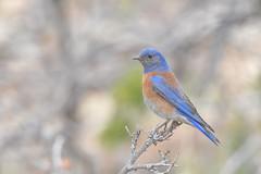 Western Bluebird (jonathanirons28) Tags: westernbluebird april arizona coconinoco grandcanyonnationalpark 2018 nikon d500