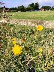 Fence Flowers (JulieK (thanks for 7 million views)) Tags: sonchusarvensis perennialsowthistle wildflower ireland irish fence hff wexford yellow garden outdoor iphonese