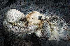 Hold me tight (Karsten Gieselmann) Tags: 60mmf28 em5markii europa lissabon mzuiko microfourthirds natur olympus ozeaneum portugal saeugetiere seeotter tiere kgiesel m43 mft nature oceanarium seaotter