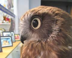 Jensen (billnbenj) Tags: barrow cumbria owl boobookowl raptor birdofprey