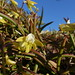 2016-09-27 Bicheno Lookout Rock 27 - Dockrillia striolata - Yellow rock orchid flowers