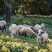 Flock of Sheep in the Nature