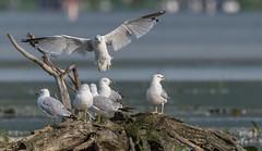 Goéland à bec cerclé //Ring-billed Gull (Alexandre Légaré) Tags: goéland à bec cerclé ringbilled gull larus delawarensis bird animal oiseau wildlife nature nikon d7500