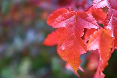 Fall colours are here in the north (janefenya1313) Tags: outside canada botany nature crisp cool autumn color colour fall