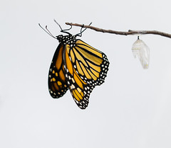 Monarch and Chrysalis (trekok, enjoying) Tags: c31a1693 monarch chrysalis
