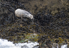 Cute seal......On The Moals. (Air Frame Photography) Tags: padstow cornwall jaws photography nikon d500 jublie queen camel sea 2018