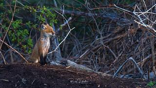 Red Fox - Vulpes vulpes   2018 - 24 [EXPLORED]