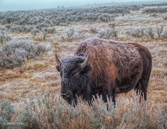 The Icy Bison (buffdawgus) Tags: buffalo westernstatesroadtrip lightroom6 canonef24105mmf4lisusm topazstudio yellowstonenationalpark bison canon5dmarkiii wyoming