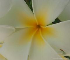 Yellow in white. (natureflower) Tags: plumaria white yellow macro closeup full bloom fragrant