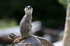 Erdmännchen (mux68-uh) Tags: zoo tierpark hellabrunn tierparkhellabrunn münchen munich erdmännchen