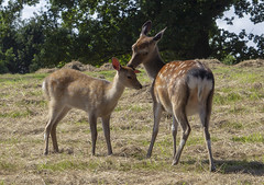Affection (sdmvqedd30) Tags: deer newborn fallowdeer field grass trees affection animals female young canon fawn