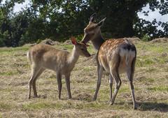 Affection (sdmvqedd30) Tags: deer newborn fallowdeer field grass trees affection animals female young canon fawn