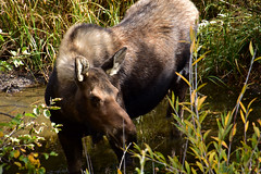 Moose (MarkusR.) Tags: mrieder markusrieder nikon d7200 nikond7200 vacation urlaub fotoreise phototrip usa 2017 usa2017 colorado rockymountains rockymountainnationalpark landscape landschaft natur nature nationalpark hiking wandern hike trail wanderung moose elch elche animals tiere wildlife