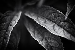 leaves (Francis Mansell) Tags: monochrome leaf plant kew kewgardens midrib blackwhite vein royalbotanicgardenskew niksilverefexpro2 macro