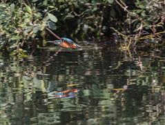 The Local Kingfisher (ukmjk) Tags: kingfisher parkhall lake nikon nikkor d500 300mm pf vr tc14e2