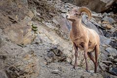 (Dan Fleury) Tags: alberta jasper canada ca park bighorn sheep horn rockies mountain rugged animal wild wilderness free cans2s ab cdn tan
