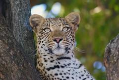 my all time favorite Leopard... (cirdantravels (Fons Buts)) Tags: panthera pardus luipaard leopard léopard carnivore carnivora feline felidae bigcat predator okavangodelta moremi specanimal leopardportrait coth5 specanimalphotooftheday