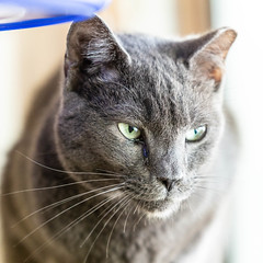 Stanley02Sep201813.jpg (fredstrobel) Tags: pawsatanta atlanta places pets animals ga usa pawscats cats decatur georgia unitedstates us