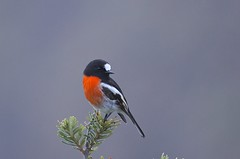 Scarlet Robin (Peter Vaughan 2) Tags: bird bush shrub tree animal scarlet red robin petroica petroicidae passeriformes aves avian tasmania australia brunyisland nature wilderness wildlife naturephotography wildlifephotography birdphotography nikon sigma d5100 150500mm feathers