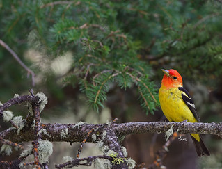 Western Tanager - 7916b+