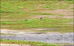 Baird's Sandpiper (Calidris bairdii) - 2 of 3 (Steve Arena) Tags: bairdssandpiper calidrisbairdii newburyport massachusetts essexcounty plumisland prnwr parkerriver parkerrivernationalwildliferefuge 2018 nikon d750 bird birds birding