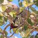 Lybius torquatus (Black-collared Barbet)