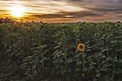 One in a million (airamatina) Tags: sonnenblume feld sunflower field sundown sonnenuntergang abend evening nikon d 750
