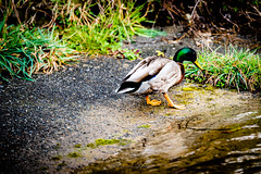 Duck, Picton (Theresa Hall (teniche)) Tags: 2018 australia canberra picton teniche theresahall theresahalldalliessi beauty bird birds creek duck ducks foreshore friendly natural nature nikon pond river water waterbird waterbirds waterway