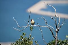 Woodchat Shrike (Clare_leeloo) Tags: woodchatshrike shrike bird wildlife nature gibraltar