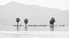 A herd of buffaloes in the flood season (-clicking-) Tags: landscape buffalo floodseason flood country blackandwhite blackwhite nocolors monochrome monotone bw vietnameselandscape vietnam minimalism minimalist minimalistlandscape minimalistperfection