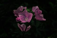 purple flowers (anderswetterstam) Tags: flowers nature flora floral botanical purple beauty closeup