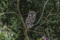In the Twilight (davidrhall1234) Tags: tawnyowlstrixaluco tawnyowl owl yorkshire nidderdale dales countryside birds birdsofprey beak birdsofbritain bird nature nikon outdoors wildlife world woodland feather falconry perch