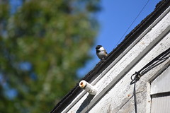 2018-09-10 Bird Watching 9 (s.kosoris) Tags: skosoris nikond3100 d3100 nikon bird birds chickadee camp huronian