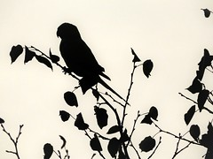 Silhouette of a Parakeet (Clare-White) Tags: bird silhouette leaves shapes white branches nature outside